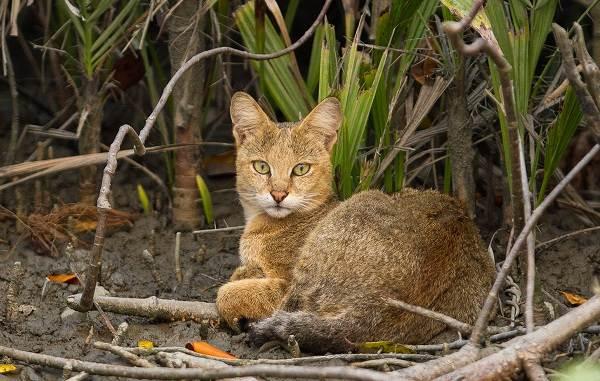 Чаузи-кошка-Описание-особенности-характер-содержание-уход-и-цена-породы-чаузи-11