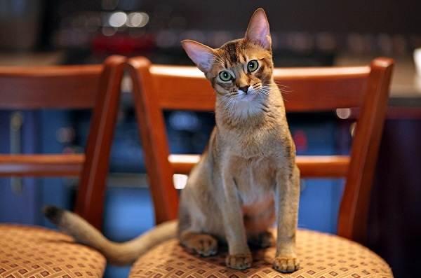 Чаузи-кошка-Описание-особенности-характер-содержание-уход-и-цена-породы-чаузи-12