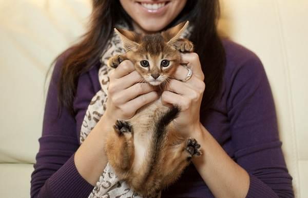 Чаузи-кошка-Описание-особенности-характер-содержание-уход-и-цена-породы-чаузи-13