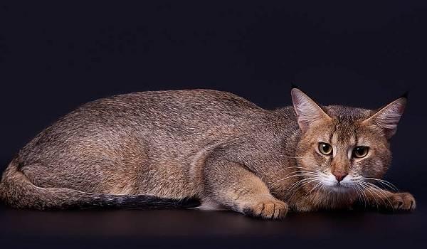 Чаузи-кошка-Описание-особенности-характер-содержание-уход-и-цена-породы-чаузи-14