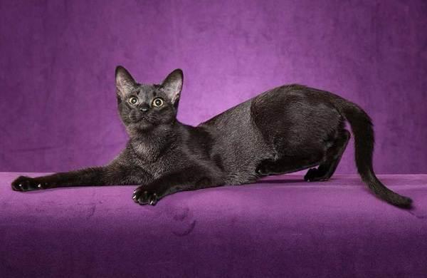 Чаузи-кошка-Описание-особенности-характер-содержание-уход-и-цена-породы-чаузи-15