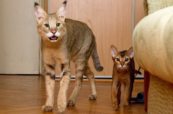 Чаузи-кошка-Описание-особенности-характер-содержание-уход-и-цена-породы-чаузи-16
