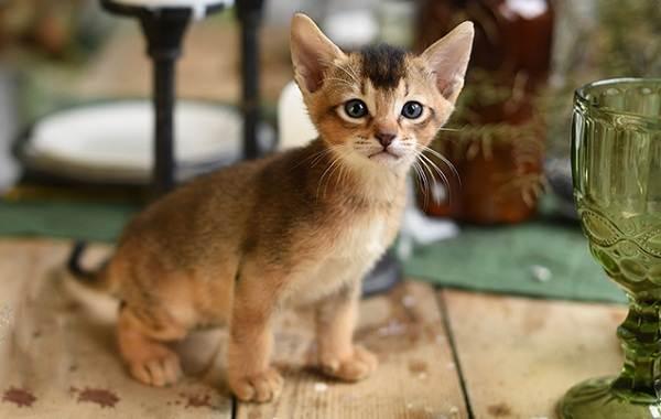 Чаузи-кошка-Описание-особенности-характер-содержание-уход-и-цена-породы-чаузи-17