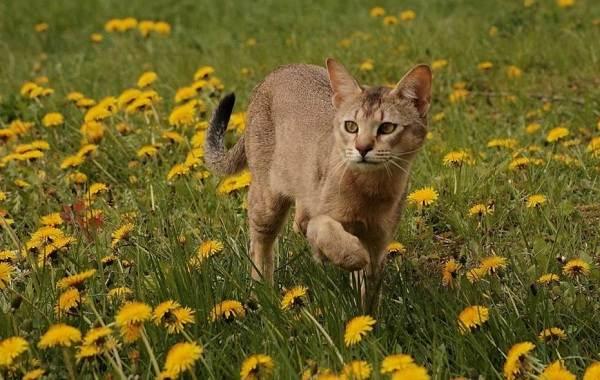 Чаузи-кошка-Описание-особенности-характер-содержание-уход-и-цена-породы-чаузи-18