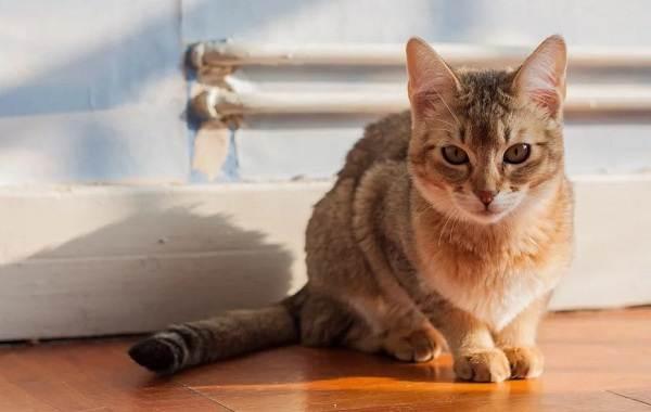 Чаузи-кошка-Описание-особенности-характер-содержание-уход-и-цена-породы-чаузи-2