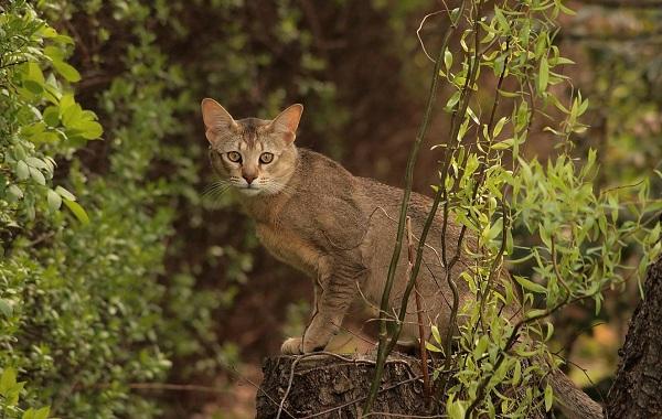 Чаузи-кошка-Описание-особенности-характер-содержание-уход-и-цена-породы-чаузи-20