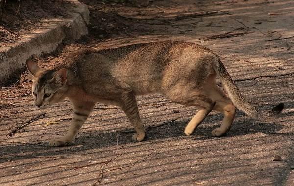 Чаузи-кошка-Описание-особенности-характер-содержание-уход-и-цена-породы-чаузи-4