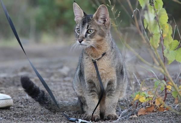 Чаузи-кошка-Описание-особенности-характер-содержание-уход-и-цена-породы-чаузи-7