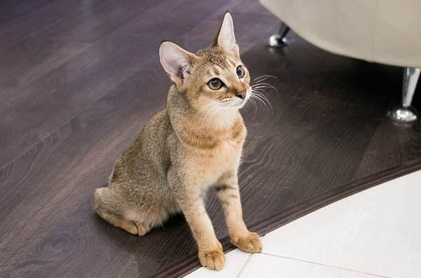 Чаузи-кошка-Описание-особенности-характер-содержание-уход-и-цена-породы-чаузи-8