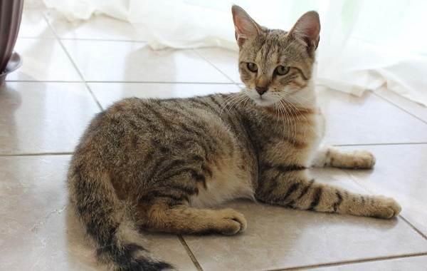 Чаузи-кошка-Описание-особенности-характер-содержание-уход-и-цена-породы-чаузи-9