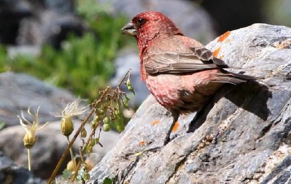 Чечевица-птица-Описание-особенности-виды-образ-жизни-и-среда-обитания-чечевицы-11
