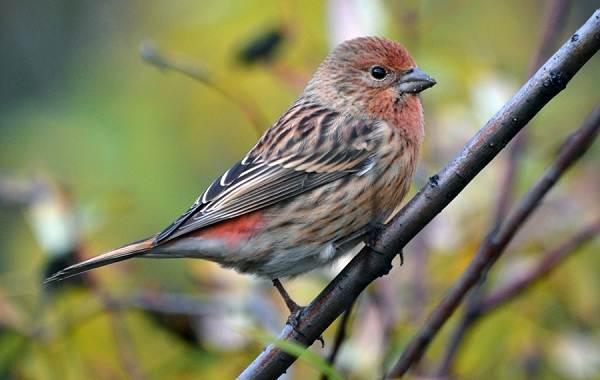 Чечевица-птица-Описание-особенности-виды-образ-жизни-и-среда-обитания-чечевицы-12