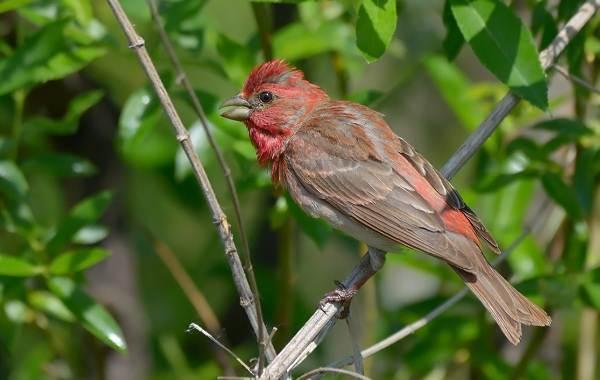 Чечевица-птица-Описание-особенности-виды-образ-жизни-и-среда-обитания-чечевицы-13
