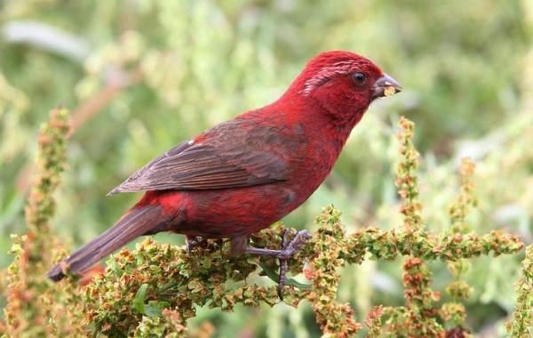 Чечевица-птица-Описание-особенности-виды-образ-жизни-и-среда-обитания-чечевицы-15