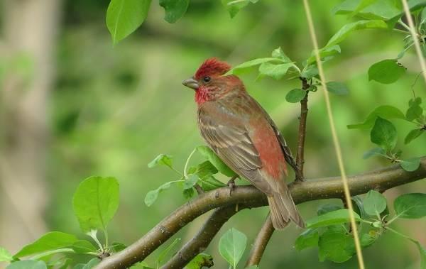 Чечевица-птица-Описание-особенности-виды-образ-жизни-и-среда-обитания-чечевицы-17