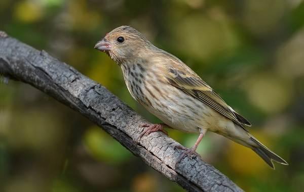 Чечевица-птица-Описание-особенности-виды-образ-жизни-и-среда-обитания-чечевицы-20