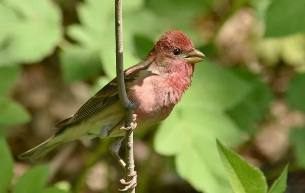 Чечевица-птица-Описание-особенности-виды-образ-жизни-и-среда-обитания-чечевицы-21