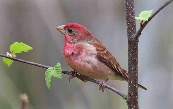 Чечевица-птица-Описание-особенности-виды-образ-жизни-и-среда-обитания-чечевицы-22