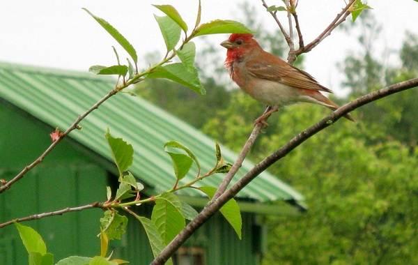 Чечевица-птица-Описание-особенности-виды-образ-жизни-и-среда-обитания-чечевицы-23