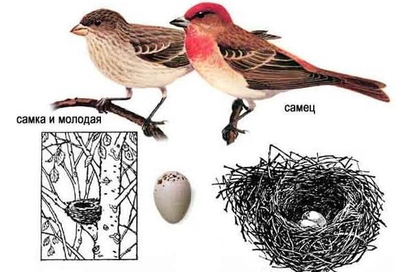 Чечевица-птица-Описание-особенности-виды-образ-жизни-и-среда-обитания-чечевицы-24