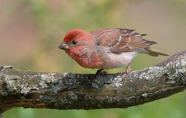 Чечевица-птица-Описание-особенности-виды-образ-жизни-и-среда-обитания-чечевицы-25