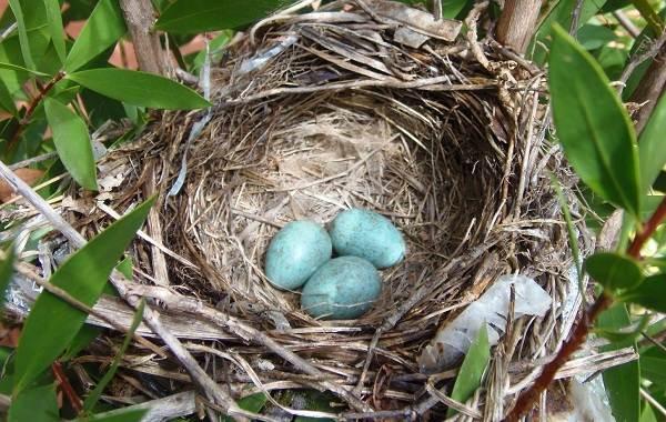 Чечевица-птица-Описание-особенности-виды-образ-жизни-и-среда-обитания-чечевицы-27