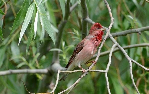 Чечевица-птица-Описание-особенности-виды-образ-жизни-и-среда-обитания-чечевицы-28