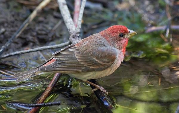 Чечевица-птица-Описание-особенности-виды-образ-жизни-и-среда-обитания-чечевицы-29