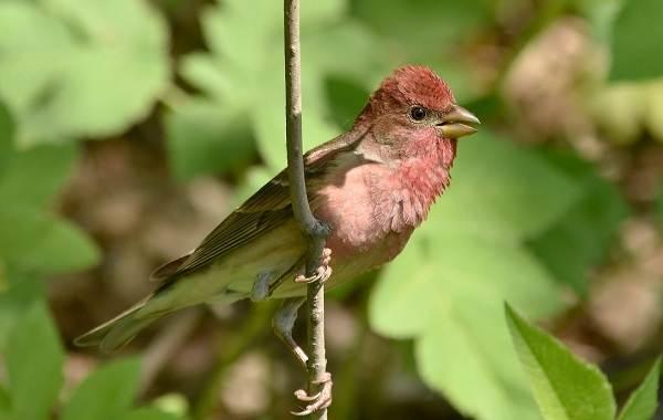 Чечевица-птица-Описание-особенности-виды-образ-жизни-и-среда-обитания-чечевицы-3