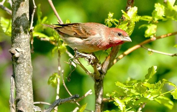 Чечевица-птица-Описание-особенности-виды-образ-жизни-и-среда-обитания-чечевицы-30