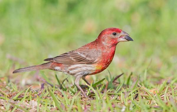 Чечевица-птица-Описание-особенности-виды-образ-жизни-и-среда-обитания-чечевицы-5