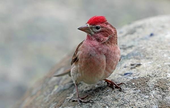 Чечевица-птица-Описание-особенности-виды-образ-жизни-и-среда-обитания-чечевицы-6