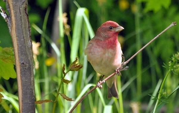 Чечевица-птица-Описание-особенности-виды-образ-жизни-и-среда-обитания-чечевицы-8