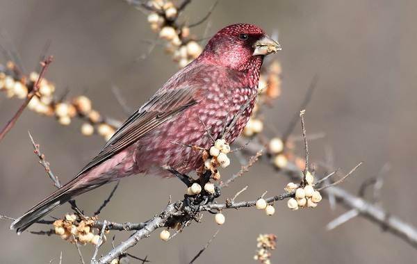 Чечевица-птица-Описание-особенности-виды-образ-жизни-и-среда-обитания-чечевицы-9