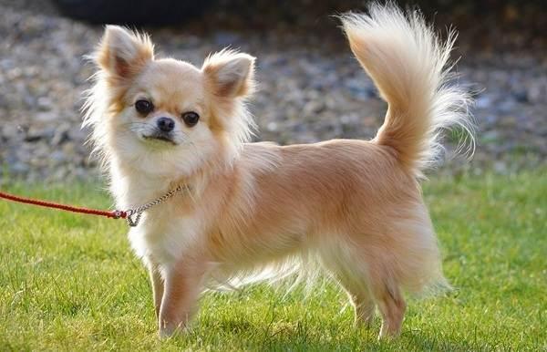 Чихуахуа-собака-Описание-особенности-виды-характер-уход-и-цена-породы-чихуахуа-1