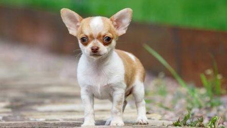 Чихуахуа собака. Описание, особенности, виды, характер, уход и цена породы чихуахуа