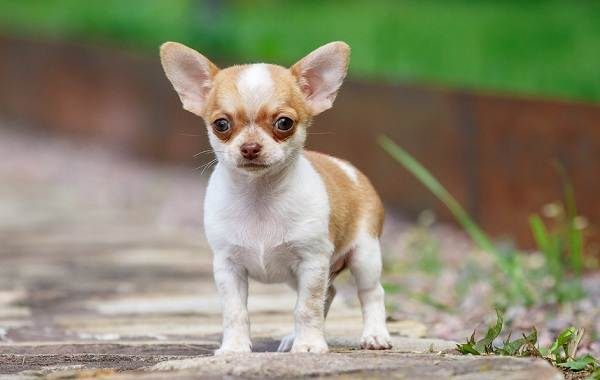 Чихуахуа-собака-Описание-особенности-виды-характер-уход-и-цена-породы-чихуахуа-11