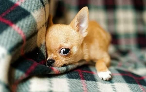 Чихуахуа-собака-Описание-особенности-виды-характер-уход-и-цена-породы-чихуахуа-12