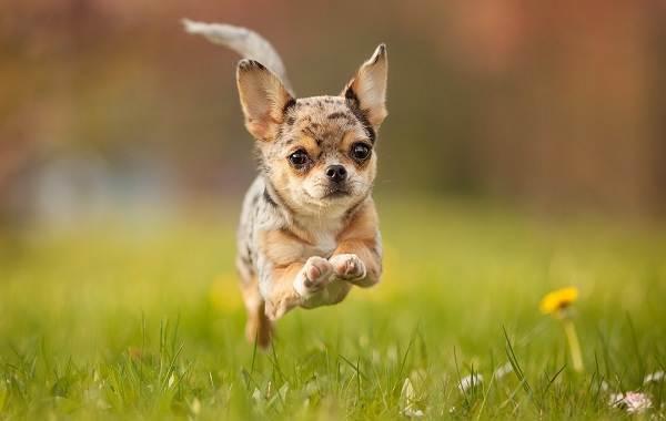 Чихуахуа-собака-Описание-особенности-виды-характер-уход-и-цена-породы-чихуахуа-13