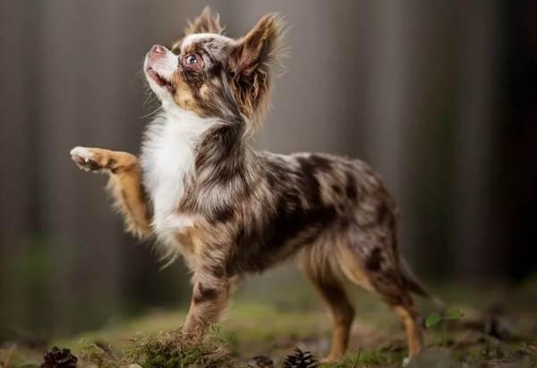 Чихуахуа-собака-Описание-особенности-виды-характер-уход-и-цена-породы-чихуахуа-14
