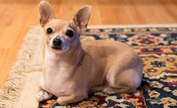 Чихуахуа-собака-Описание-особенности-виды-характер-уход-и-цена-породы-чихуахуа-16