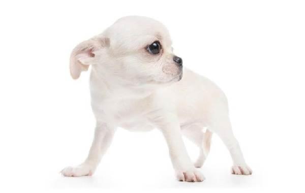 Чихуахуа-собака-Описание-особенности-виды-характер-уход-и-цена-породы-чихуахуа-17