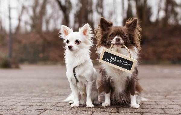 Чихуахуа-собака-Описание-особенности-виды-характер-уход-и-цена-породы-чихуахуа-4