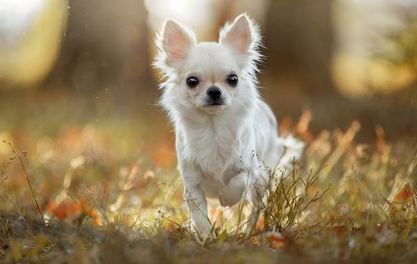 Чихуахуа-собака-Описание-особенности-виды-характер-уход-и-цена-породы-чихуахуа-5