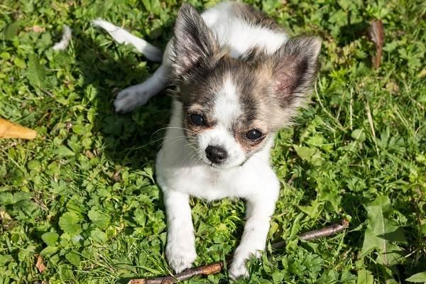Чихуахуа-собака-Описание-особенности-виды-характер-уход-и-цена-породы-чихуахуа-6