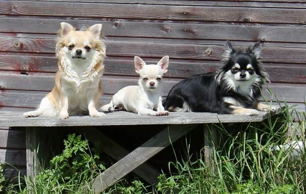 Чихуахуа-собака-Описание-особенности-виды-характер-уход-и-цена-породы-чихуахуа-9