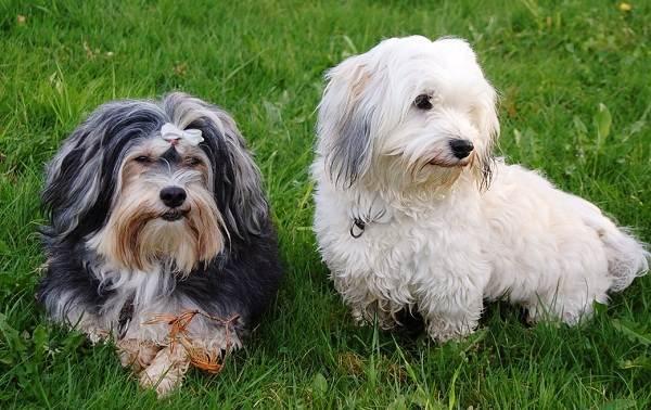 Гаванский-бишон-собака-Описание-особенности-виды-уход-и-цена-породы-гаванский-бишон-1