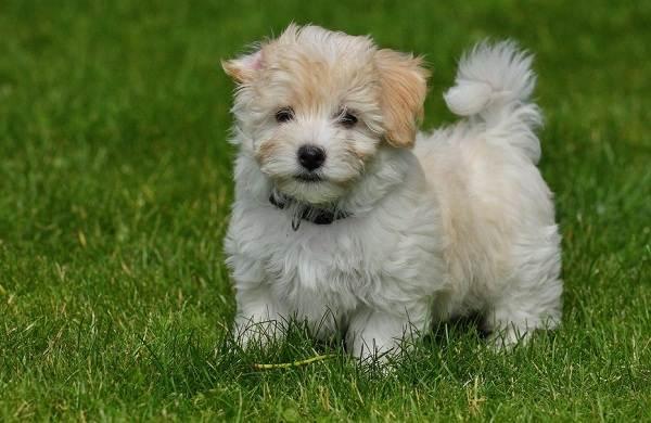 Гаванский-бишон-собака-Описание-особенности-виды-уход-и-цена-породы-гаванский-бишон-11