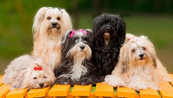 Гаванский-бишон-собака-Описание-особенности-виды-уход-и-цена-породы-гаванский-бишон-2