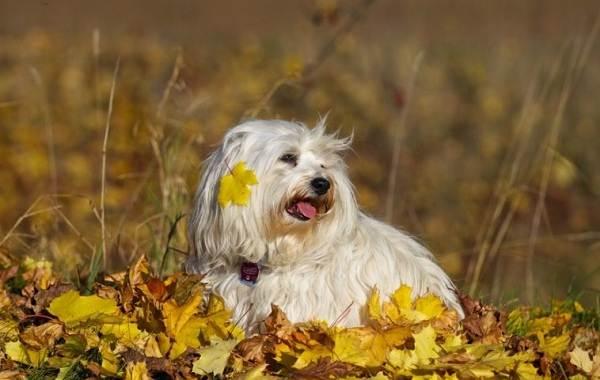 Гаванский-бишон-собака-Описание-особенности-виды-уход-и-цена-породы-гаванский-бишон-3